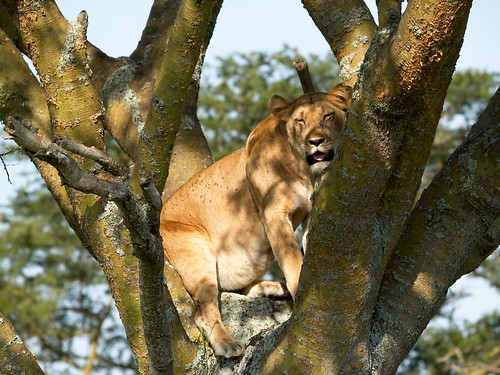 PC116301 lion tree por Stefan Gara.