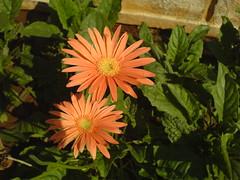 Gerbera jamesonii (dinesh_valke) Tags: flora gerbera africandaisy asteraceae gerberadaisy transvaaldaisy compositae daisyfamily asterfamily barbertondaisy gerberajamesonii sunflowerfamily
