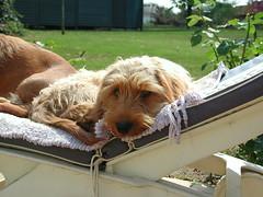 dog pet cute animal photo basset fauvedebretagne