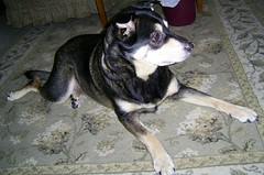 Bailey (Vegan Butterfly) Tags: dog dogs animal animals mutt mixed relaxing bailey breed companion