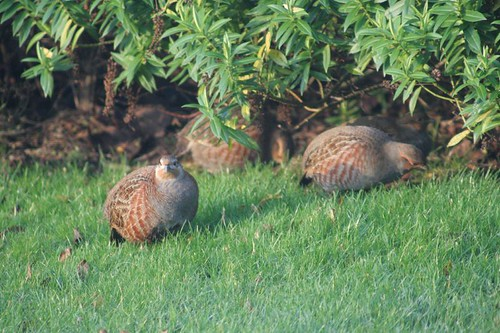 Grey Partridges by Richard Carter.