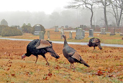 Wild Turkeys - 4:40pm (Chris Seufert) Tags: christmas birds turkey capecod wildlife massachusetts chatham pilgrims wildturkeys 1640 americantowns southchatham gettyholidays2010