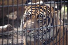 DSC_3072 (blackwolf05) Tags: tiger sumatrantiger kansascityzoo