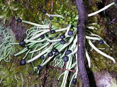 black macro washington hiking fungi mountrainier mountrainiernationalpark lichen ascomycota carbonriver ascomycetes cladoniaceae matchlichen pilophorusacicularis devilsmatchstick lecanorales pilophorus stereocaulaceae naillichen