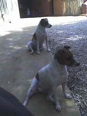 Two South African dogs