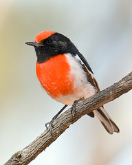 Red-capped Robin (Jon Thornton) Tags: wild bird nature birds animal nikon d2x australia australianbirds passeriformes petroicidae hattah specanimal redcappedrobin nectariniidae petroicagoodenovii jonthornton