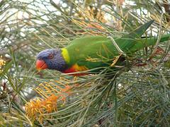 Rainbow Lorikeet (boombana) Tags: lorikeet queensland rainbowlorikeet 2007 grevillea australianbirds trichoglossushaematodus trichoglossus