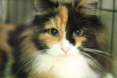 Maine Coon Kitten IMG_7222.jpg (^hSirius) Tags: portrait favorite pet cats pets cute animal animals cat fur nose interestingness eyes furry kitten feline canon20d tabby adorable favorites kitty kittens whiskers explore portraiture views mainecoon kitties meow cateyes cutest cutecat cutecats catshow rarebreed petportrait catseyes exoticcat catportrait beautifulcat beautifulcats cc100 petportraiture kissablekat tunafished kittyschoice exoticbreed