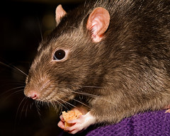 H's Pet Rat II ('SeraphimC) Tags: hairy pet newyork macro canon hair fur bread nose rodent eyes furry rat hand feeding flash ears lips 100mm whiskers newyearseve syracuse 5d pe