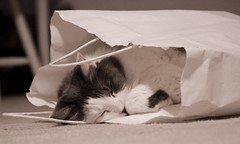 Cat in a Bag (darkhairedgirl) Tags: kitty catnapping catsleeping bestofcats tunafished msh01071 catsleepinginabag sweetiedeedoo sweetieinabag sweetielovescrinklybags