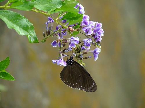 第一隻照到的斑蝶
