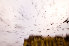birds (flamed) Tags: birds flock busy romania pidgeons activity swarm timisoara flutter flocking swarming frenetic thebestbravo psychoticbirds