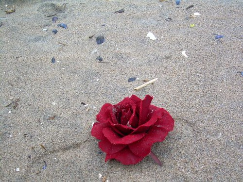 Rose on the beach