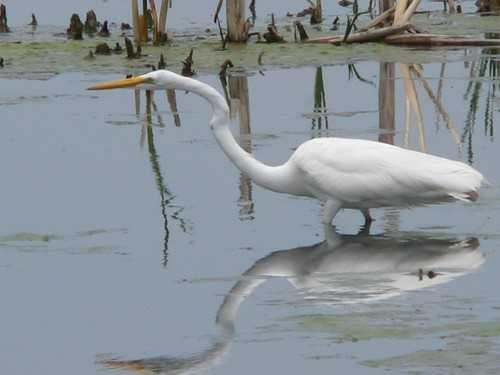 061 Great Egret