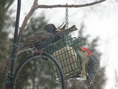 back off of my suet!