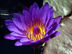 Purple Passion Waterlily (Creativity+ Timothy K Hamilton) Tags: flower water st garden botanical louis saveme 500v20f waterlily lily purple deleteme10 pad petal mo missouri ochre excellence mobot 1000v40f timothykhamilton
