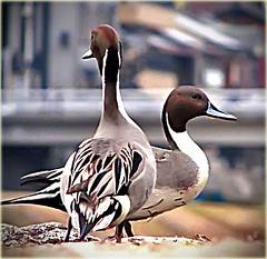 Crossed Pintails (Lump Of Hesitation) Tags: bird japan river duck kyoto wildlife kamogawa pintail 1on1photooftheday