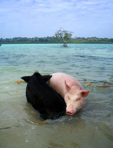 Pink and black pig in the sea