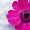 Queen of the snows (cattycamehome) Tags: pink flowers winter white snow black cold flower colour macro ice nature floral tag3 taggedout petals bravo frost tag2 all colours tag1 purple searchthebest bright blossom quote © freezing vivid petal anemone rights freeze stamen blossoming pollen icy anenome onwhite reserved excellence naturesfinest catherineingram magicdonkey abigfave january2007 cattycamehome superbmasterpiece fushis alicemswaim allrightsreserved©
