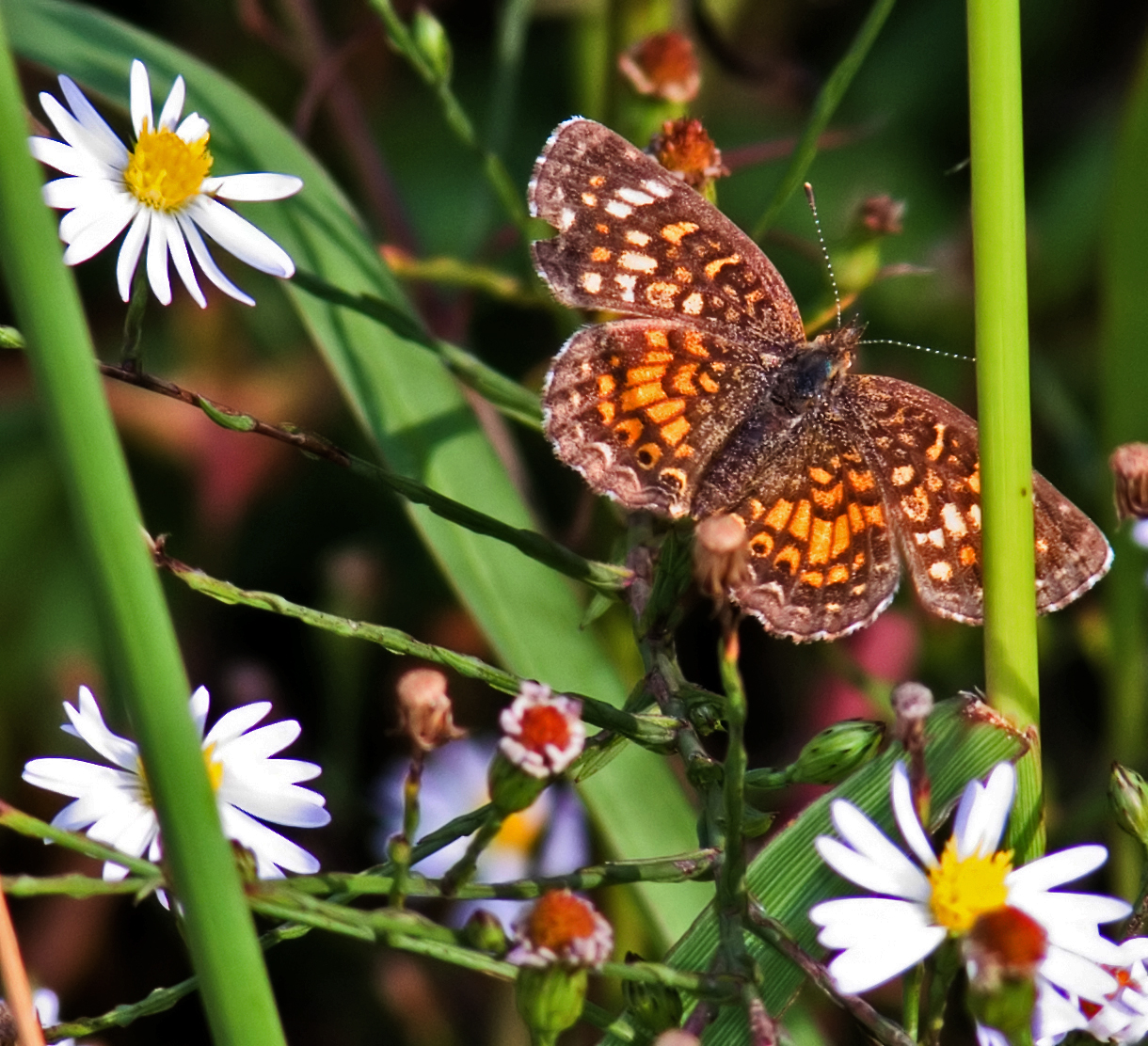 A phaon crescent, Phyciodes phaon