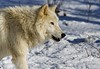 Atka (kotobuki711) Tags: winter white snow ny newyork cold male wolf shadows branches teeth conservation canine alpha artic wolves alphamale britishcolumbian atka southsalem wolfconservationcenter