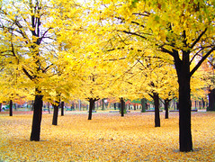 Yellow in the fall (six steps ) Tags: park trees toronto fall leaves yellow photoshop woods highpark cs2 peopleschoice musedelelyse nikonstunninggallery phridayphotos colorphotoaward tousphotographes flickr333 wwwtousphotographesch weareallphotographers hpresolution