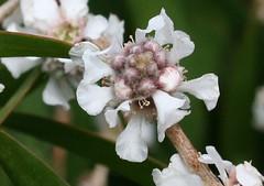 Australian Flowers - Myrtle