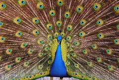 Straight Ahead Peacock - by MrClean1982