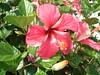 Hibiscus rosa-sinesis, Hibiscus, amapola (Gabriela17) Tags: polen androceo pétalosgrandes