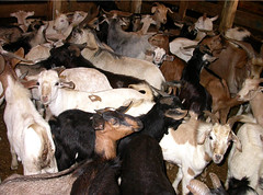 A passle of goats