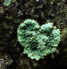 heart (derbaum) Tags: nature dresden derbaum sachsen 2007  pillnitz gewidmet