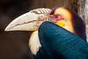 Wreathed hornbill (Heather Leah Kennedy) Tags: bird animal animals sanantonio zoo texas hornbill sanantoniozoo wreathedhornbill impressedbeauty wreathed