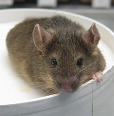 Scientists clone mice from adult skin stem cells