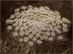 Nonpareils (Art-) Tags: macro nature sepia canoneos5d canonef100mmf28macrousm