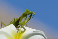 cmon, get me if you can a praying mantis from bali  (bocavermelha-l.b.) Tags: mantis geotagged plumeria id prayingmantis southchinasea mantid 105mmf28dmicro mantereligieuse mantises mantodea mantidae  wildlifephotography inbali southchinasea inindonesia innusadua miim wildlifesoutheastasia  shootingwithd200  nikonr1ttlringlightflash ahexapoda onafrangipani geo:lon=115223064 geo:lat=8810778 cmongetmeifyoucan hierodulamembranacea giantasianmantis