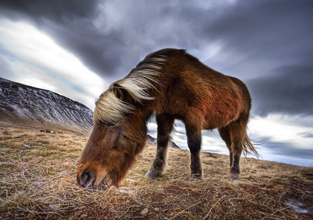 An Icelandic Horse in the Wild (by Stuck in Customs)