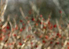 Focuso Berries 2 (Dan Zen) Tags: snow nature nodism focuso fbgnature