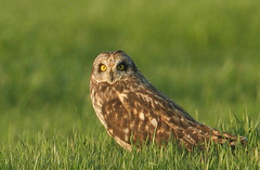 waiting for sunset (short-eared owl) (by ehoyer)