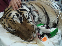 Tiger- intubated (Jaimie Sun) Tags: cat tiger anesthesia pulseox