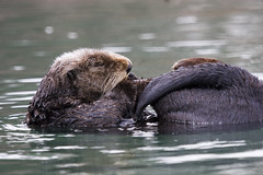 sea-otter-morro-bay_02
