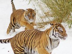 Melati chases Soyono #2 (pixelmasseuse) Tags: cat tiger tigers nationalzoo sumatrantiger tigris bigcats melati panthera harimau greatcats sumatrantigers pantheratigrissumatrae sumatrae abigfave thechallengefactory