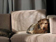 Please Just Take the Picture (dalylab) Tags: dog nap snap sofa terrier kennedy lazyboy welshterrier wildcard toddoldham snapsofa