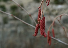 Catkins (MaureenShaughnessy) Tags: winter red plants cold color nature water beauty creek river montana stream dof seasons bokeh earth line waters form february botany botanica wetland thicket riverbottom latewinter subtlecolors nearhelena redandorange bottomland iamhauntedbywaters bpotd montanariver seasonalrhythmswinter seasonalrhythmstexture seasonalrhythmscolor februaryinmontana lovetheplaceyourewith pricklypearcreek nearmontanacity ubcbgbotanyphotooftheday