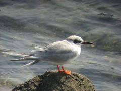 Forster's Tern (lilac_breasted_roller) Tags: california bird forsterstern blueribbonwinner parkstock specnature avianexcellence