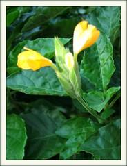 Budding spike of Firecracker Flower