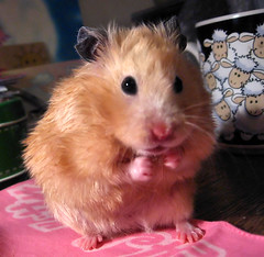 """When I grow up, I want to be a boxer!"" (pyza*) Tags: pet pets cute animal animals mammal golden rodent hamster mammals rodents hamsters syrian chmurka"