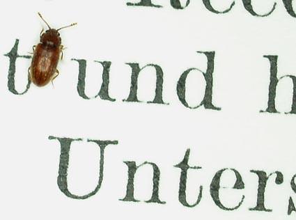 tinybeetle1