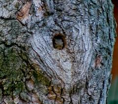 Safe In My Hole (mightyquinninwky) Tags: tree yard squirrel nest kentucky front urbanwildlife lexingtonky invite chevychase fontaineroad splendiferous bestofformyspacestation