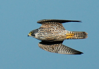 Speed (Peregrine Falcon (Falco peregrinus) in Flight)