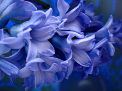 Blue with a great smell-1 (Janny Brocken) Tags: flowers blue topf50 explore smell janny hyacinth topv888 blueribbonwinner sonydscw15 jannybrocken superaplus aplusphoto explore2007 200750plusfaves